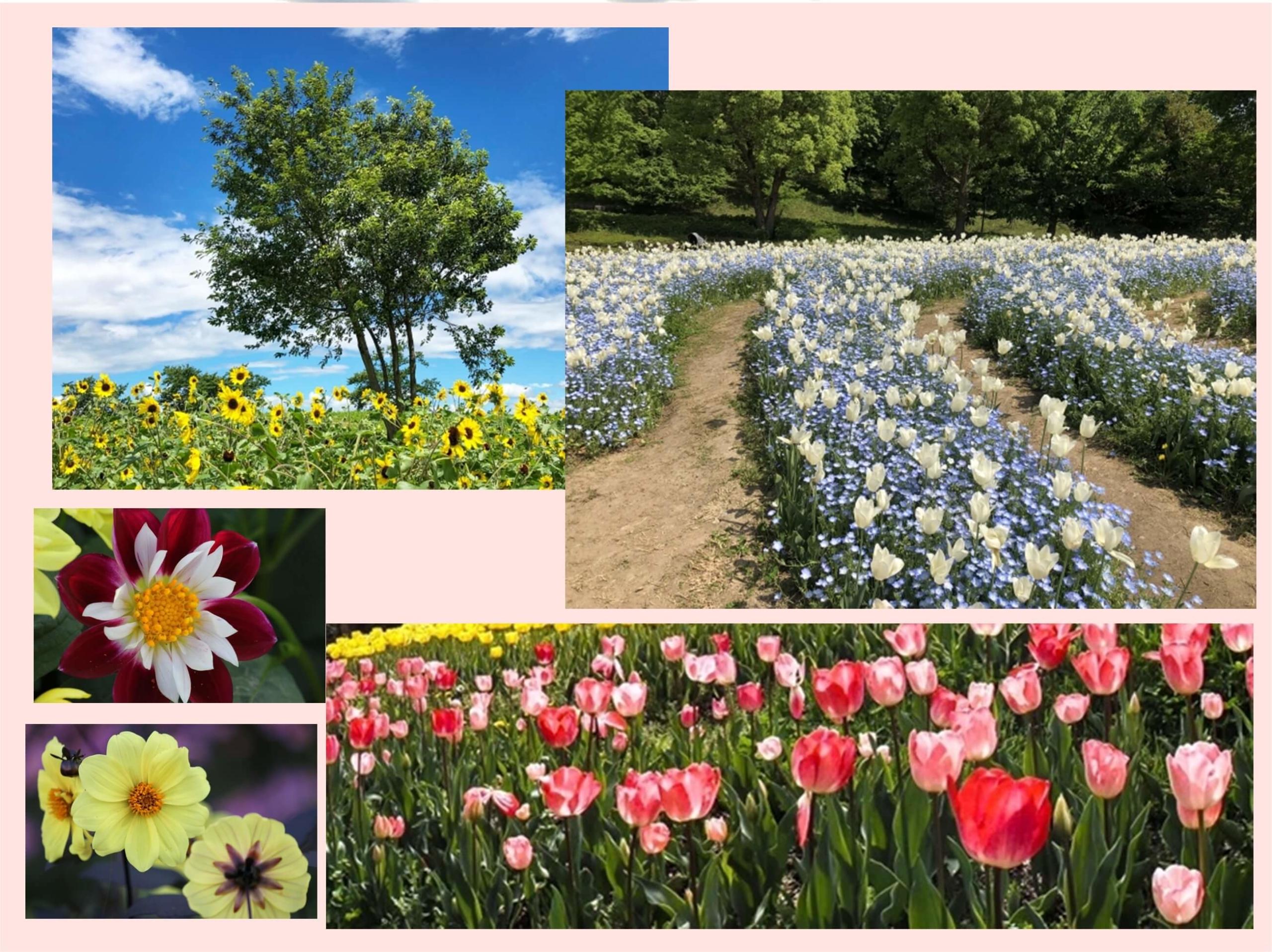 馬見丘陵公園 花畑