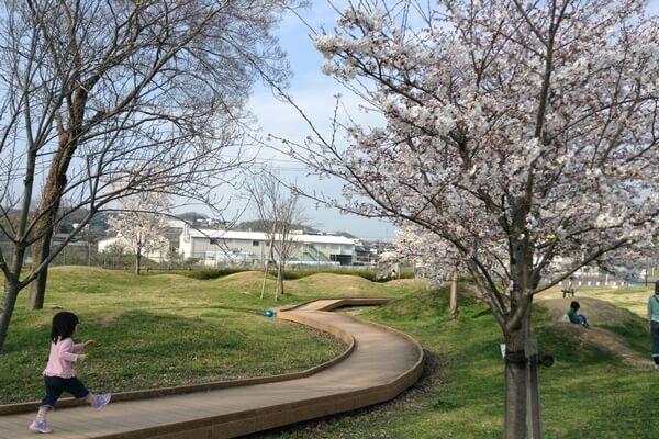 五條中央公園 桜